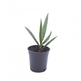 نبتة Phoenix dactylifera