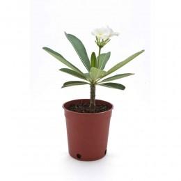 نبتة Plumeria obtusa alba