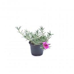 نبتة Portulaca grandiflora pink