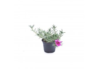 Portulaca grandiflora pink