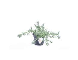 نبتة Portulaca grandiflora white