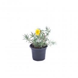 نبتة Portulaca grandiflora yellow