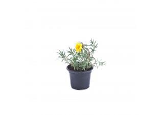 Portulaca grandiflora yellow