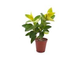 نبتة Pseuderanthemum  reticulatum andersonii