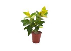 Pseuderanthemum  reticulatum andersonii