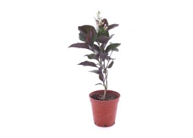 Pseuderanthemum atropurpureum tonga