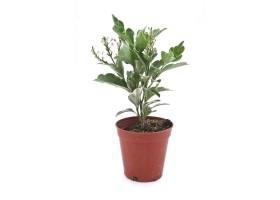 Pseuderanthemum atropurpureum variegate