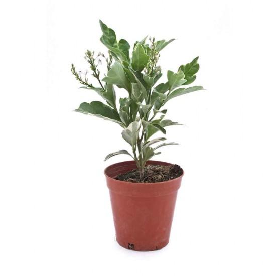 نبتة Pseuderanthemum atropurpureum variegate