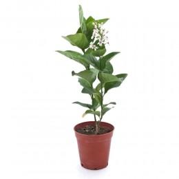 نبتة Pseuderanthemum reticulatum