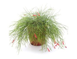 نبتة Russelia equisitifolia