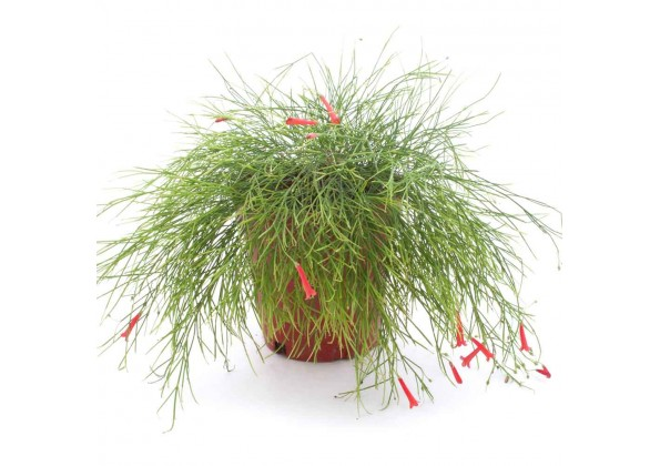 Russelia equisitifolia