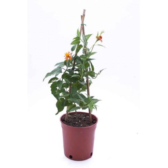 نبتة Senecio cofusus
