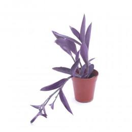 نبتة Setcresia purpurae