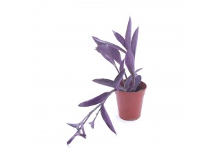 Setcresia purpurae