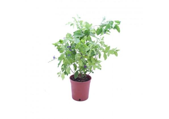 Solanum rantonette