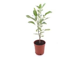 نبتة Tabebuia palida
