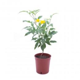 نبتة Tecoma stans
