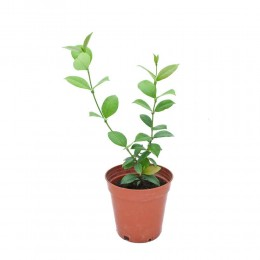نبتة Trachelospermum jasminoides