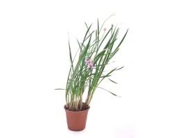 نبتة Tulbaghia violacae