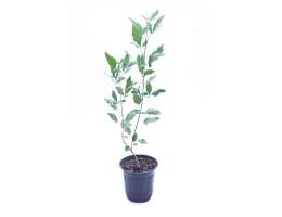 نبتة Vitex trifolia variegate