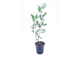 Vitex trifolia variegate