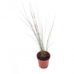 نبتة Water grass