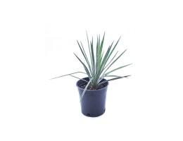 نبتة Yucca filamentosa