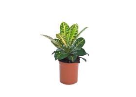 نبتة داخلية كوديوم