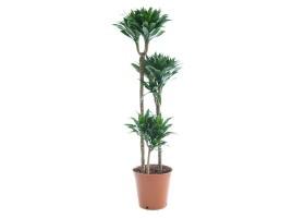Indoor Plant Dracaena Compacta