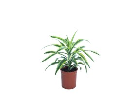 Indoor Plant Dracaena Lemon Lime