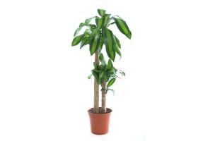 Indoor Plant Dracaena Massangeana