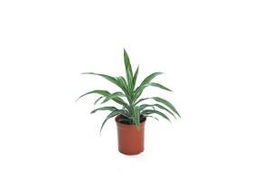 Indoor Plant Dracaena Olysis