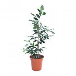نبتة داخلية فيكس دانيال