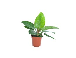 نبتة داخلية Philodendron imperial green