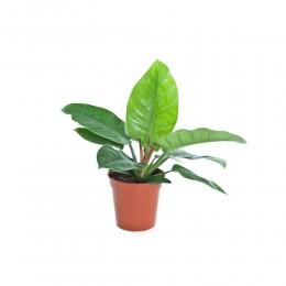 نبتة داخلية Philodendron imperial green