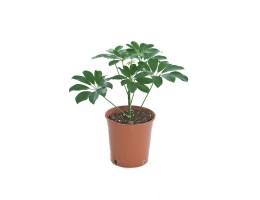 نبتة داخلية Schefflera arboricola green