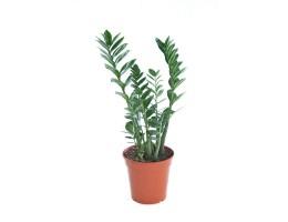 نبتة داخلية Zamioculcas zamiofolia