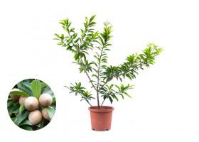 نباتات في الهواء الطلق  Manilkara zapota