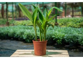 نباتات في الهواء الطلق  Canna hybrid