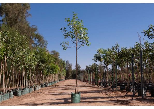 شجرة فيكس لسان العصفور