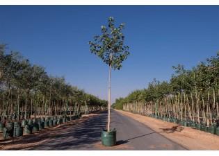 شجرة هيبسكس تليسيس أصفر