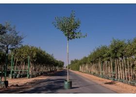 شجرة فيكس التيسا