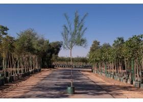 شجرة باركنسونيا زهور صفراء