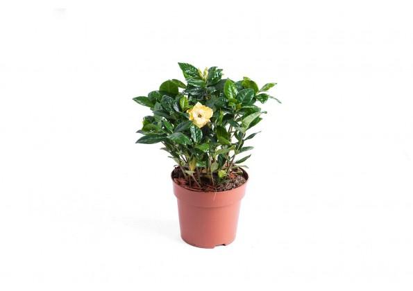 جاردينيا مختلط نبتات داخلية هولندية