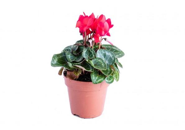 بخور مريم ميتيس فانتازيا نبتات داخلية هولندية