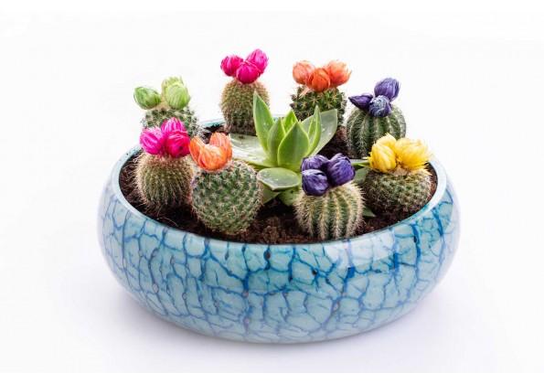نباتات مزروعة جاهزة صبارات ملونة