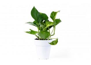 نباتات مزروعة جاهزة سكندبسوس