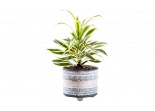 نبتة سونج اوف انديا مزروعة جاهزة